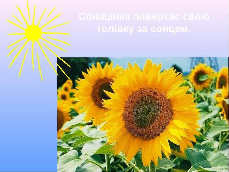 Соняшник повертає свою голівку за сонцем.