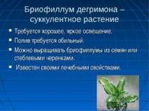Бриофиллум дегримона – суккулентное растение Требуется хорошее, яркое освещен...