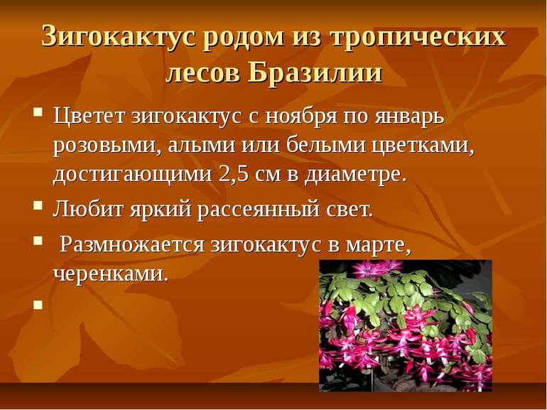 Зигокактус родом из тропических лесов Бразилии Цветет зигокактус с ноября по ...