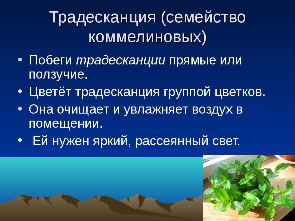 Традесканция (семейство коммелиновых) Побеги традесканции прямые или ползучие...