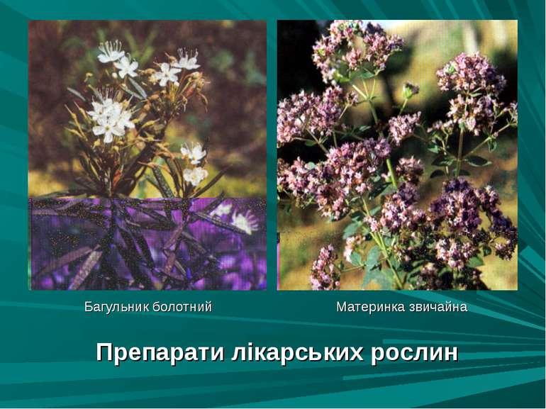 Препарати лікарських рослин Багульник болотний Материнка звичайна