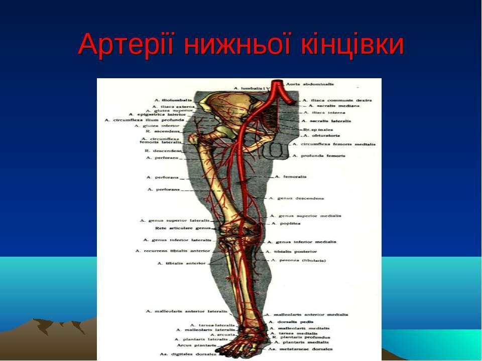 Артерії нижньої кінцівки