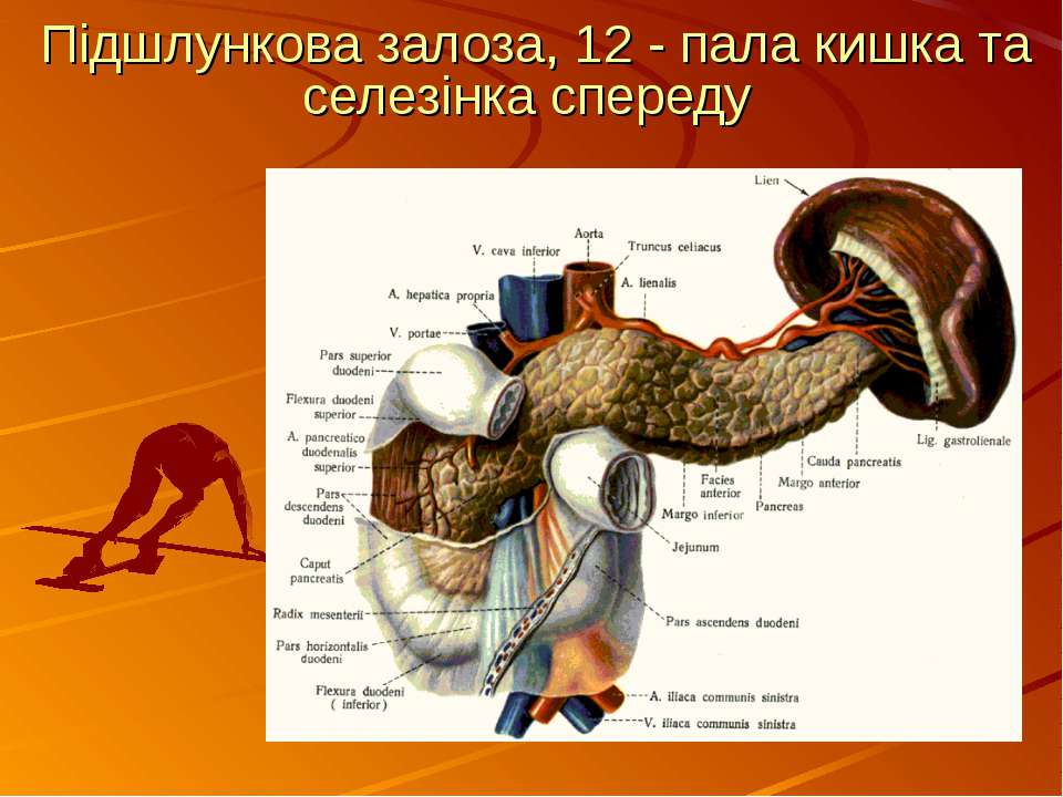 Підшлункова залоза, 12 - пала кишка та селезінка спереду