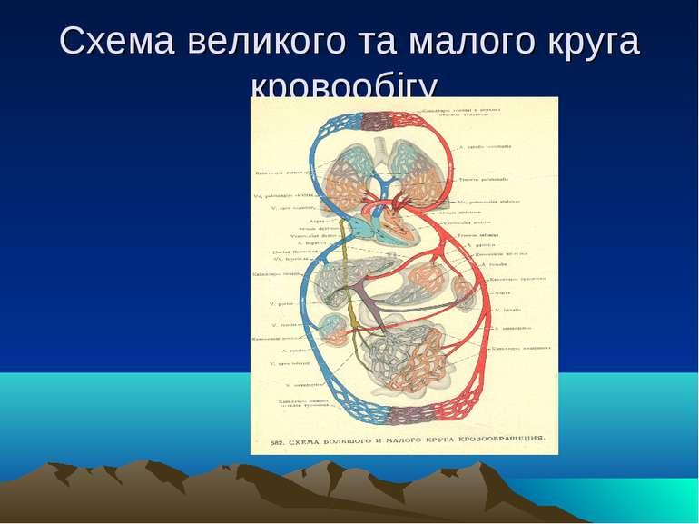 Схема великого та малого круга кровообігу