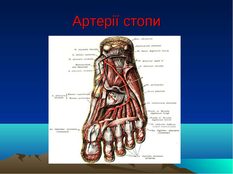 Артерії стопи