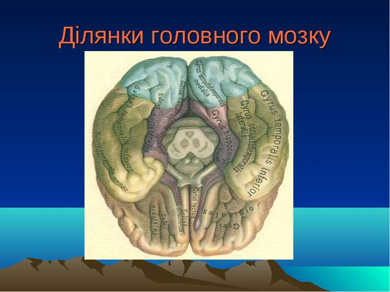 Ділянки головного мозку