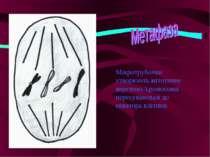 Мікротрубочки утворюють мітотичне веретено.Хромосоми пересуваються до екватор...