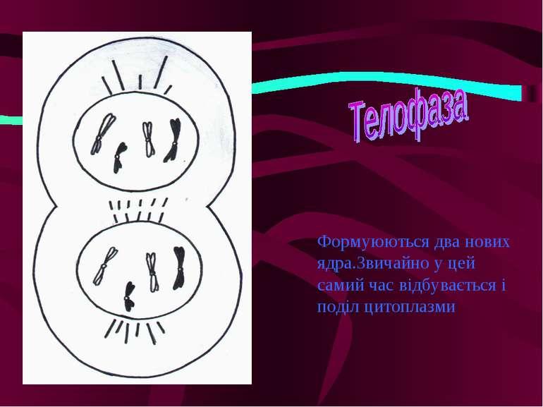 Формуюються два нових ядра.Звичайно у цей самий час відбувається і поділ цито...