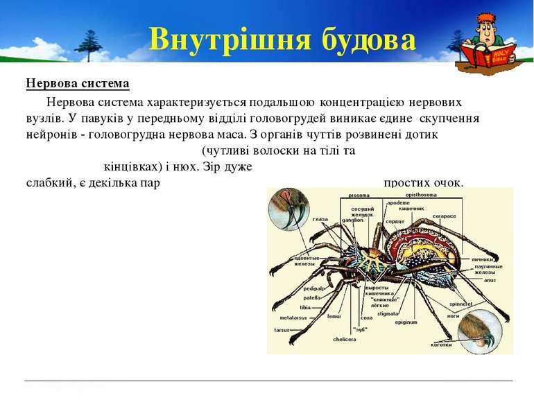 Внутрішня будова Нервова система Нервова система характеризується подальшою к...