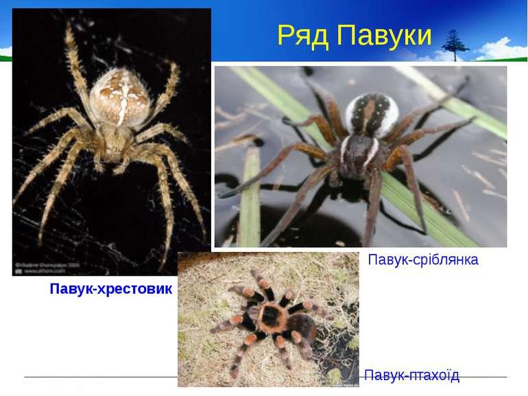 Ряд Павуки Павук-хрестовик Павук-сріблянка Павук-птахоїд