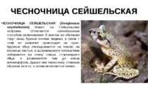 ЧЕСНОЧНИЦА СЕЙШЕЛЬСКАЯ ЧЕСНОЧНИЦА СЕЙШЕЛЬСКАЯ (Sooglossus seychellensis) Живе...