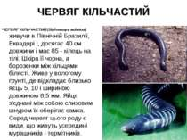 ЧЕРВЯГ КІЛЬЧАСТИЙ ЧЕРВЯГ КІЛЬЧАСТИЙ(Siphonops aulatus) живучи в Північній Бра...