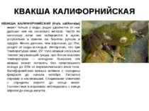 КВАКША КАЛИФОРНИЙСКАЯ КВАКША КАЛИФОРНИЙСКАЯ (Hyla californiae) живет только у...