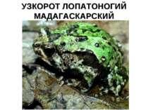 УЗКОРОТ ЛОПАТОНОГИЙ МАДАГАСКАРСКИЙ