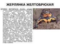 ЖЕРЛЯНКА ЖЕЛТОБРЮХАЯ ЖЕРЛЯНКА ЖЕЛТОБРЮХАЯ (Bombina variegata) обитает в Средн...