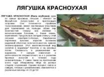 ЛЯГУШКА КРАСНОУХАЯ ЛЯГУШКА КРАСНОУХАЯ (Rana erythraea) одна из самых красивых...