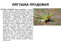ЛЯГУШКА ПРУДОВАЯ ЛЯГУШКА ПРУДОВАЯ (Rana esculenta) от озерной лягушки отличае...