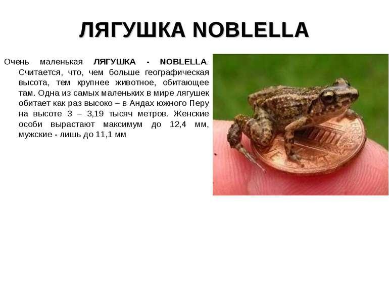 ЛЯГУШКА NOBLELLA Очень маленькая ЛЯГУШКА - NOBLELLA. Считается, что, чем боль...