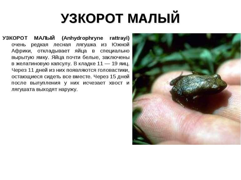 УЗКОРОТ МАЛЫЙ УЗКОРОТ МАЛЫЙ (Anhydrophryne rattrayi) очень редкая лесная лягу...