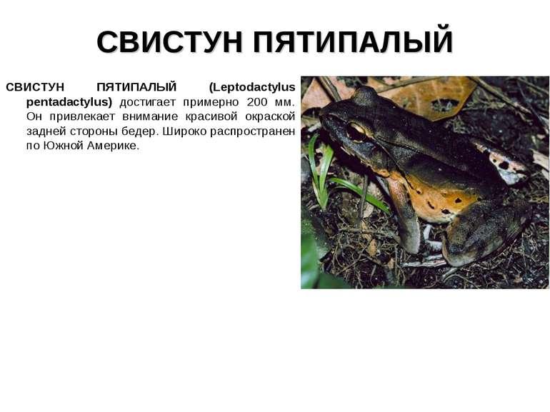 СВИСТУН ПЯТИПАЛЫЙ СВИСТУН ПЯТИПАЛЫЙ (Leptodactylus pentadactylus) достигает п...