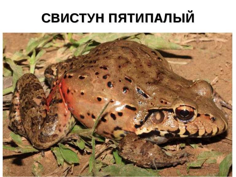 СВИСТУН ПЯТИПАЛЫЙ