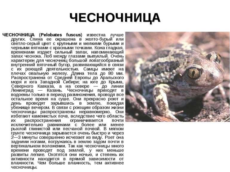ЧЕСНОЧНИЦА ЧЕСНОЧНИЦА (Pelobates fuscus) известна лучше других. Спина ее окра...