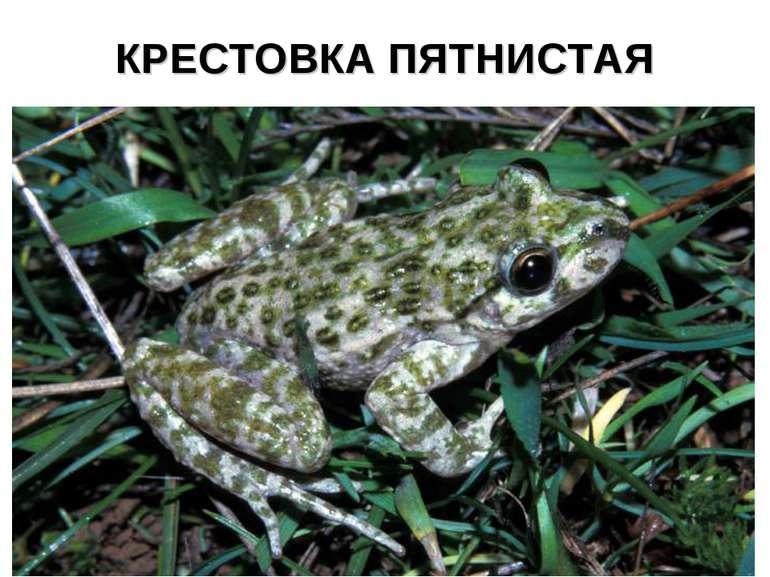 КРЕСТОВКА ПЯТНИСТАЯ