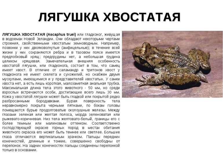 ЛЯГУШКА ХВОСТАТАЯ ЛЯГУШКА ХВОСТАТАЯ (Ascaphus truei) или гладконог, живущая в...