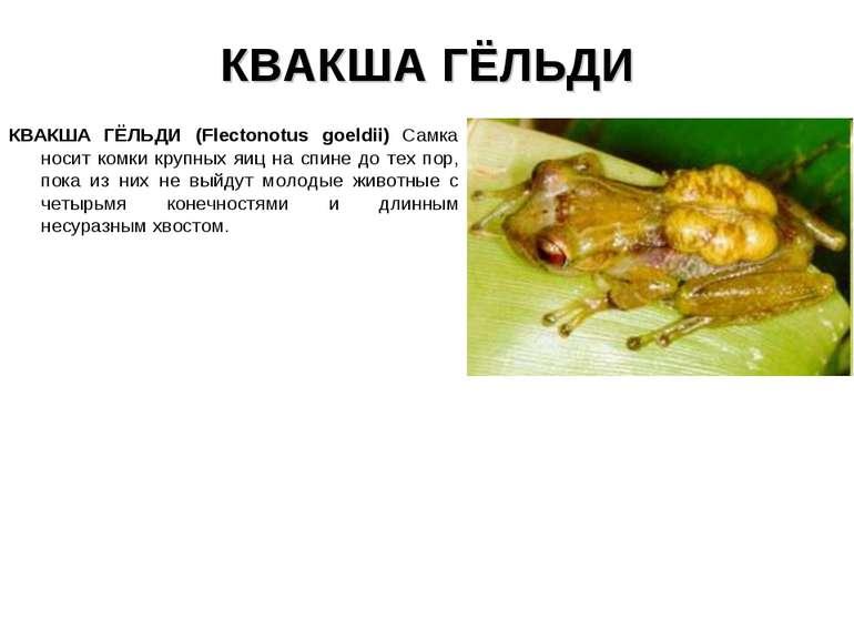 КВАКША ГЁЛЬДИ КВАКША ГЁЛЬДИ (Flectonotus goeldii) Самка носит комки крупных я...
