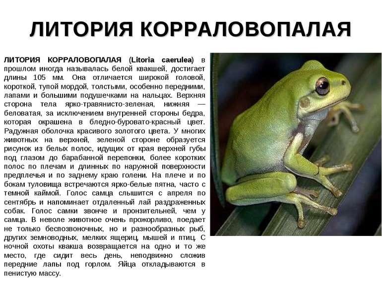 ЛИТОРИЯ КОРРАЛОВОПАЛАЯ ЛИТОРИЯ КОРРАЛОВОПАЛАЯ (Litoria caerulea) в прошлом ин...
