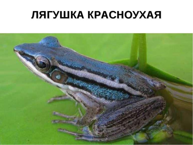 ЛЯГУШКА КРАСНОУХАЯ