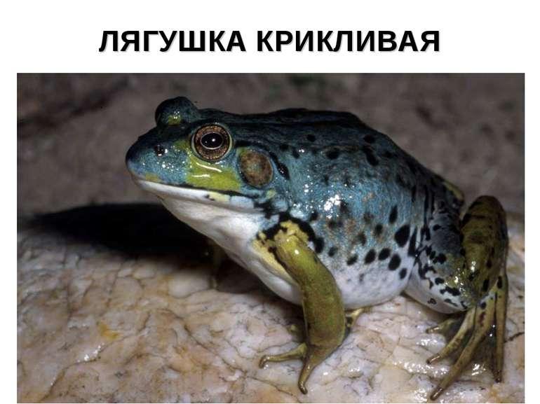 ЛЯГУШКА КРИКЛИВАЯ