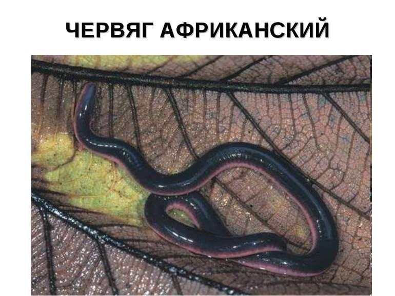 ЧЕРВЯГ АФРИКАНСКИЙ