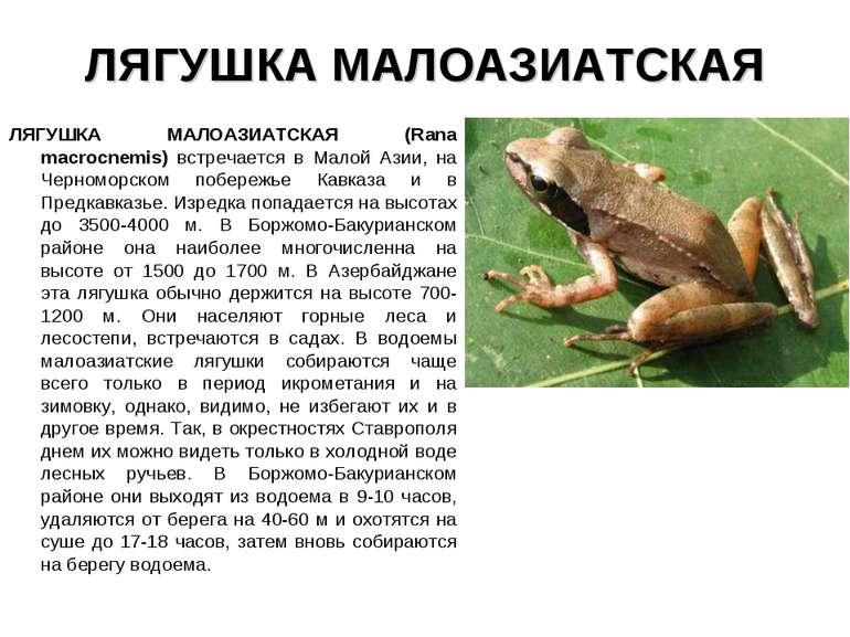 ЛЯГУШКА МАЛОАЗИАТСКАЯ ЛЯГУШКА МАЛОАЗИАТСКАЯ (Rana macrocnemis) встречается в ...