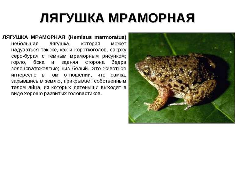ЛЯГУШКА МРАМОРНАЯ ЛЯГУШКА МРАМОРНАЯ (Hemisus marmoratus) небольшая лягушка, к...