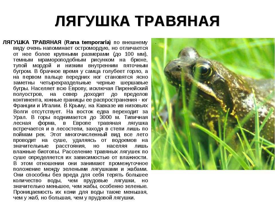 ЛЯГУШКА ТРАВЯНАЯ ЛЯГУШКА ТРАВЯНАЯ (Rana temporaria) по внешнему виду очень на...
