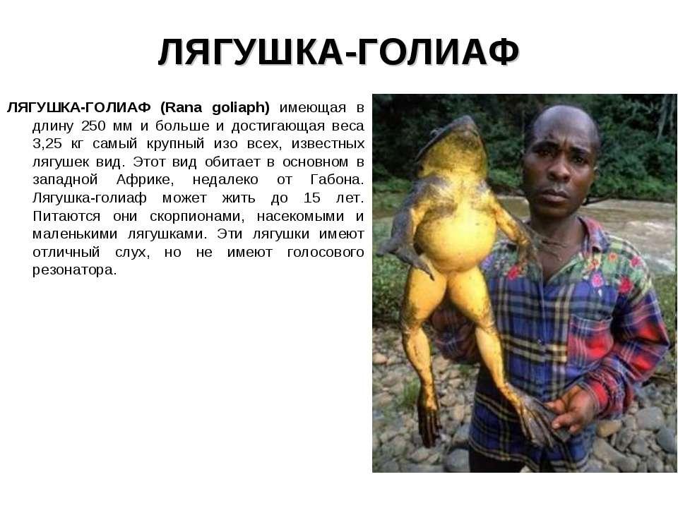 ЛЯГУШКА-ГОЛИАФ ЛЯГУШКА-ГОЛИАФ (Rana goliaph) имеющая в длину 250 мм и больше ...