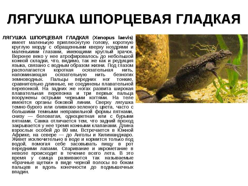 ЛЯГУШКА ШПОРЦЕВАЯ ГЛАДКАЯ ЛЯГУШКА ШПОРЦЕВАЯ ГЛАДКАЯ (Xenopus laevis) имеет ма...