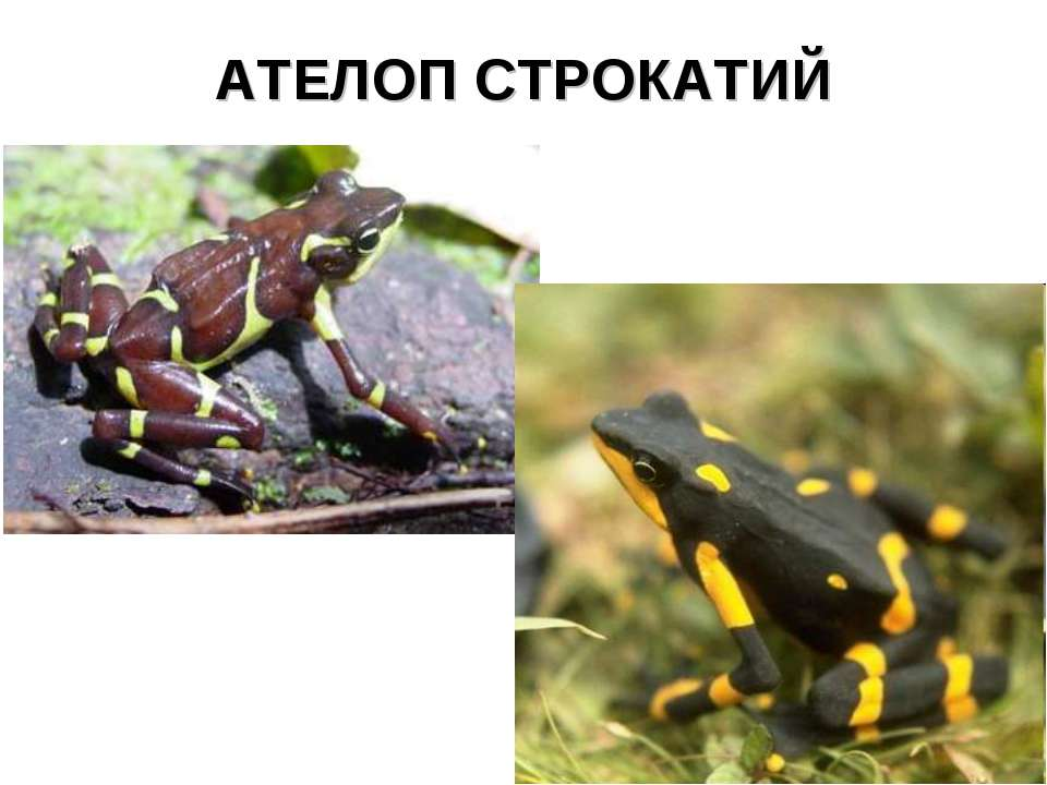 АТЕЛОП СТРОКАТИЙ