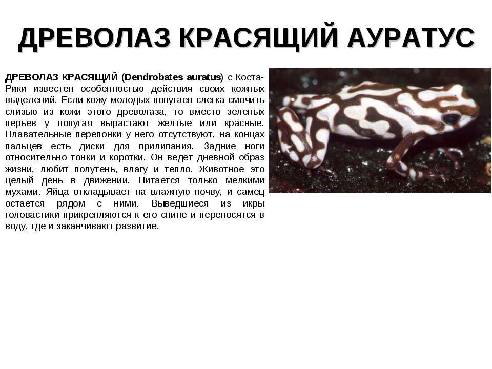 ДРЕВОЛАЗ КРАСЯЩИЙ АУРАТУС ДРЕВОЛАЗ КРАСЯЩИЙ (Dendrobates auratus) с Коста-Рик...