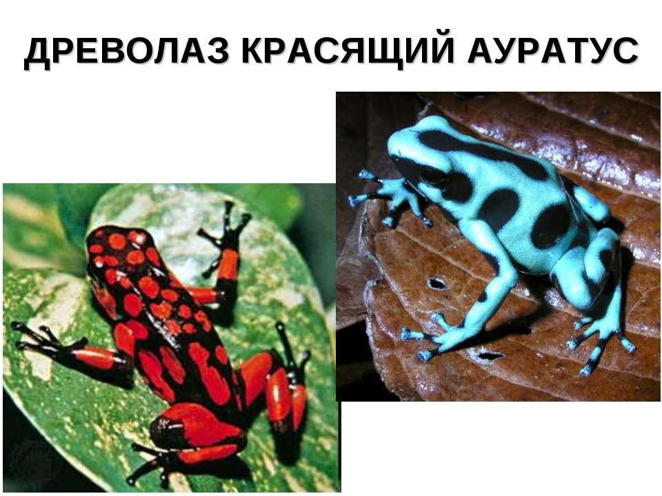 ДРЕВОЛАЗ КРАСЯЩИЙ АУРАТУС