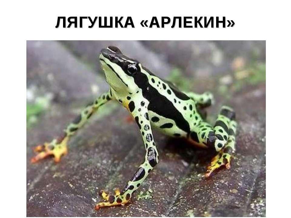 ЛЯГУШКА «АРЛЕКИН»