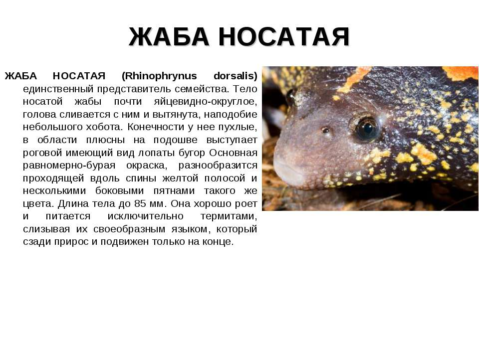ЖАБА НОСАТАЯ ЖАБА НОСАТАЯ (Rhinophrynus dorsalis) единственный представитель ...
