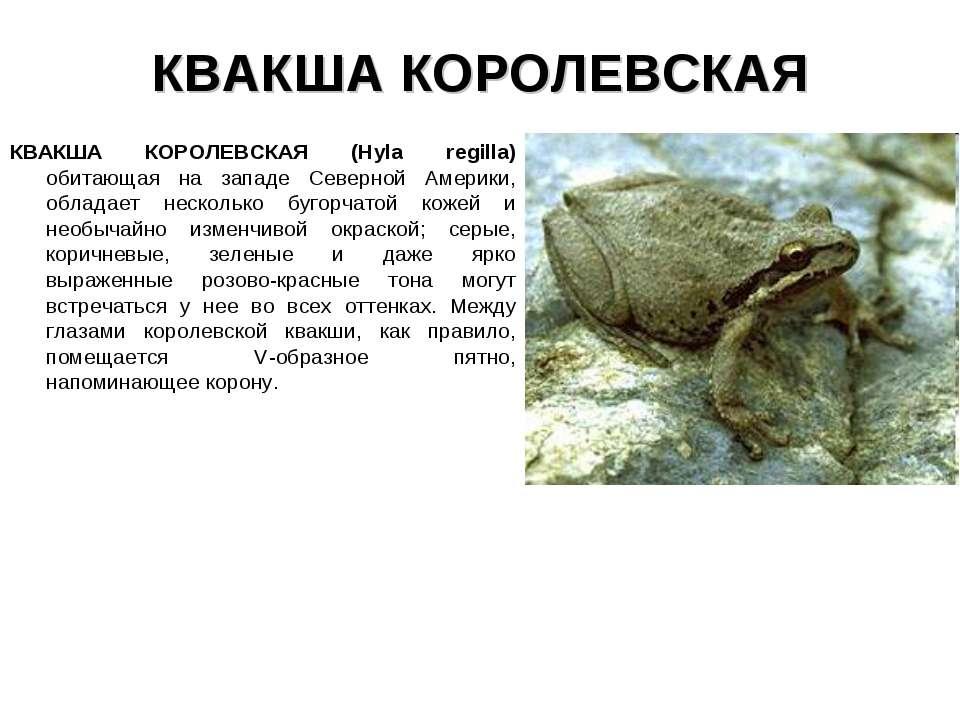 КВАКША КОРОЛЕВСКАЯ КВАКША КОРОЛЕВСКАЯ (Hyla regilla) обитающая на западе Севе...