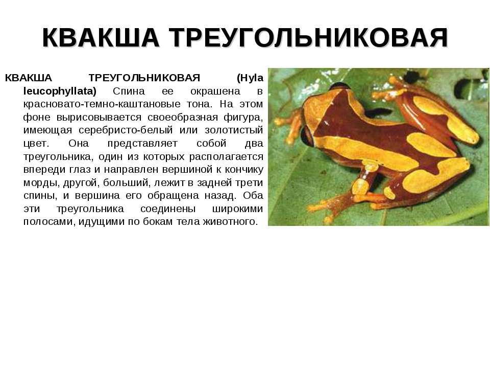 КВАКША ТРЕУГОЛЬНИКОВАЯ КВАКША ТРЕУГОЛЬНИКОВАЯ (Hyla leucophyllata) Спина ее о...