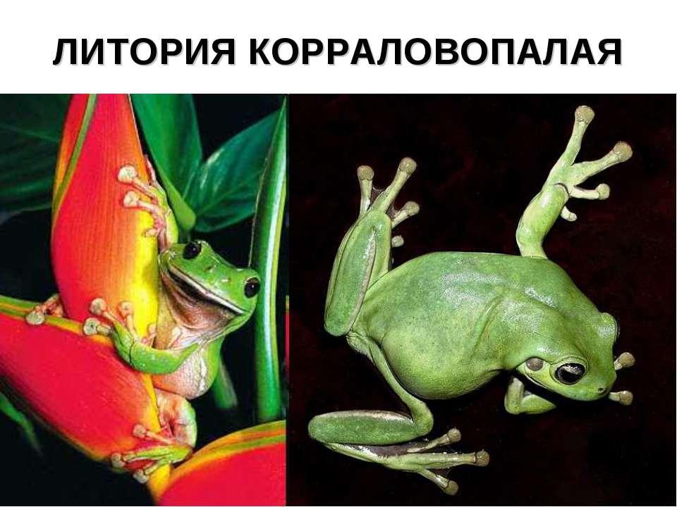 ЛИТОРИЯ КОРРАЛОВОПАЛАЯ