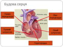 Будова серця Праве передсердя Правий шлуночок Ліве передсердя Лівий шлуночок ...