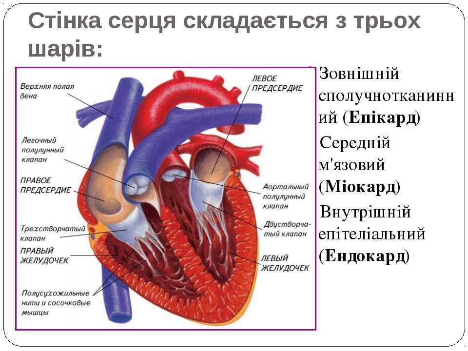 Стінка серця складається з трьох шарів: Зовнішній сполучнотканинний (Епікард)...