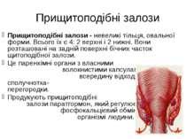 Прищитоподібні залози Прищитоподібні залози - невеликі тільця, овальної форми...