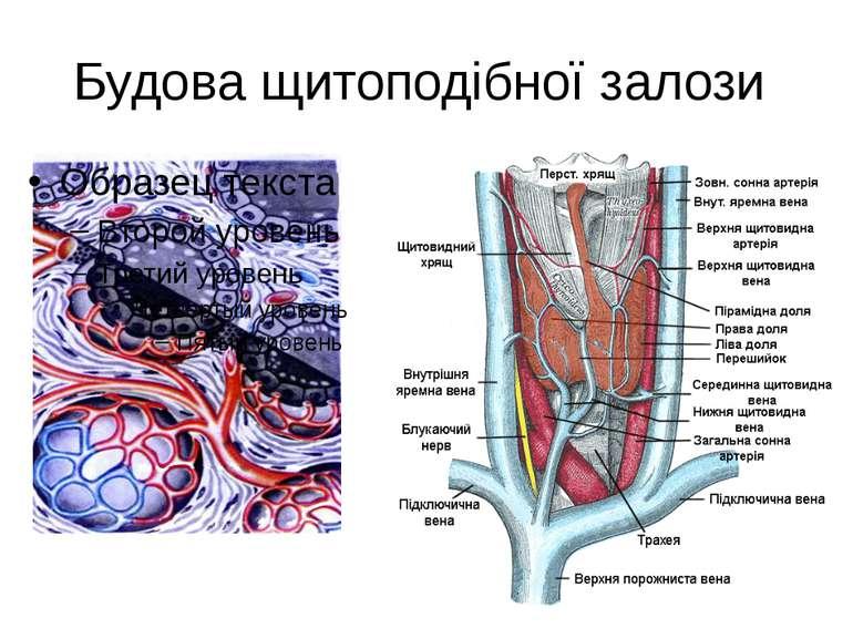 Будова щитоподібної залози